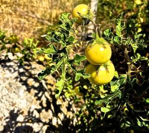 Pomo di Sodoma - Solanum linnaeanum