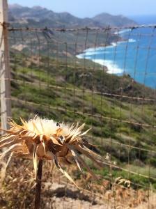 Costa Alghero - Bosa Falesie e cardo Selvatico